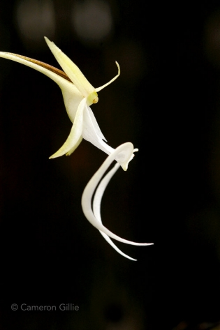 ghost orchid in the fakahatchee strand in florida