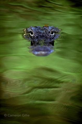 Big Cypress National Preserve alligator.