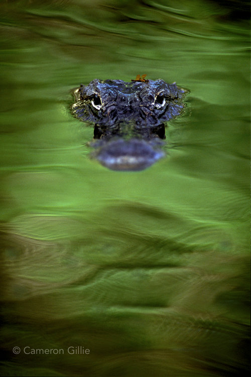 An alligator photographed during the Everglades Photography Workshop.