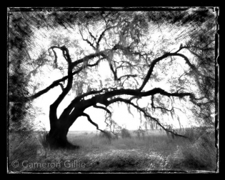 Pinhole photography of an old oak tree in Myakka State Park near Sarasota, Florida.