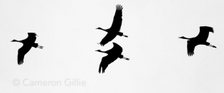 Rowe sanctuary Nebraska crane migration